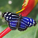Tropical Bluewave or Whitened Bluewing