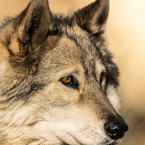Watching by RaeLynn Petrovich - Animals Other Mammals ( wolf, furry, wildlife, golden, eyes, animal )