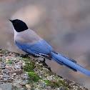 Azure-winged Magpie, Rabilargo