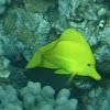 Yellow Tang (lau 'ipala)