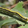 Mottled Emigrant Caterpillar