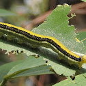 Mottled Emigrant Caterpillar