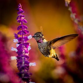 Anna's Hummingbird 2117 by Ken Wade - Animals Birds ( calypte anna, anna's hummingbird )