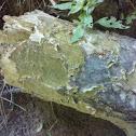 cracked ruffle lichen