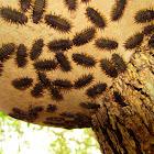 Fungus Beetle Nymphs