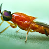 Orange spiny soldier fly