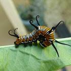 Australian Crow Butterfly Caterpillar