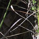 Centopeia-amarela