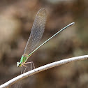 Clear Wing Forest Glory (female)