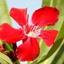 Flor de la Habana