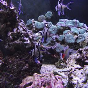marine aquarium by Aniket Karane - Animals Fish ( marinelife, corals, beautiful fish, fish, aquarium,  )