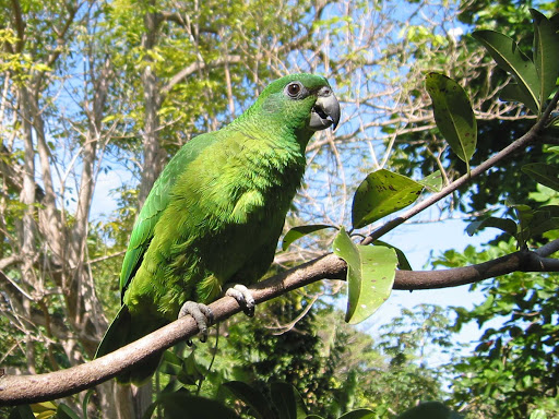 green-parrot-Jamaica - Jamaica is home to a variety of gorgeous parrots, some endangered, some prolific.