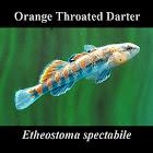 Orange Throated Darter