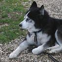Siberian husky (Husky siberiano)
