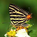台灣雙尾燕蝶 Spindasis lohita formosana