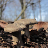 Fringed Polypore