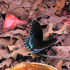 Butterfly - Red-Spotted Purple