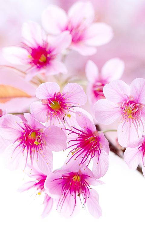 Download Sakura Flower Wallpaper Hd Apk 1 0 By Wallpaper4hd Free