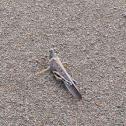 Largew Painted Locust