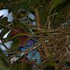 Sri Lanka Blue Magpie / Ceylon Magpie