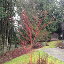 red osier dogwood