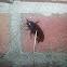 Brown Prionid (Big Brown Beetle)