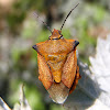 Chinche mediterráneo. Bug