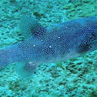 Blue-spotted pufferfish