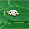 Brown-winged Stink Bug (Eggs)