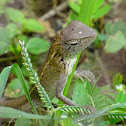 Common Oriental Garden Lizard