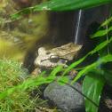 Savage's thin-toed frog