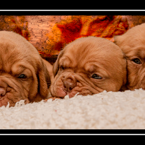 Brothers by Peter Wyatt - Animals - Dogs Puppies ( puppies, pups, bordeaux, doug, dog, portrait )