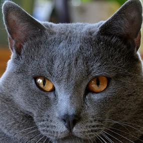 Hugo by Serge Ostrogradsky - Animals - Cats Portraits ( cat, chartreux,  )