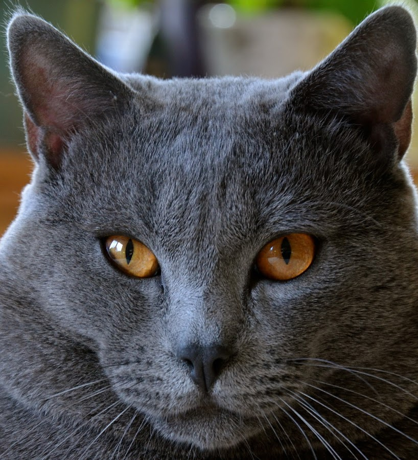 Hugo by Serge Ostrogradsky - Animals - Cats Portraits ( cat, chartreux,  )