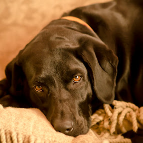 Bella by Jeffrey Genova - Animals - Dogs Portraits ( sweet, dogs, puppy, lab, #GARYFONGPETS, #SHOWUSYOURPETS,  )