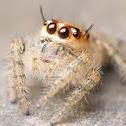 Juvenile Jumping Spider