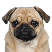 Pug Breed Collection