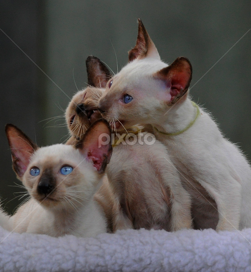by Cacang Effendi - Animals - Cats Playing ( cats, cattery, kitten, chandra, animal )