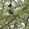 चातक Pied Crested Cuckoo