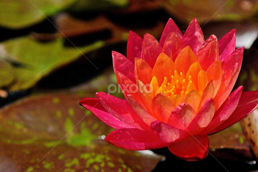 Flames by Roy Walter - Flowers Single Flower ( nature, single flower, water lily, garden )