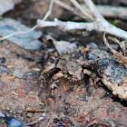 Blanchard's Cricket Frog