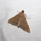 Hermiininae moth