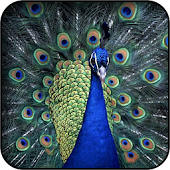 Peacocks Wallpapers