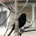 Eurasian Blackbird- השחרור