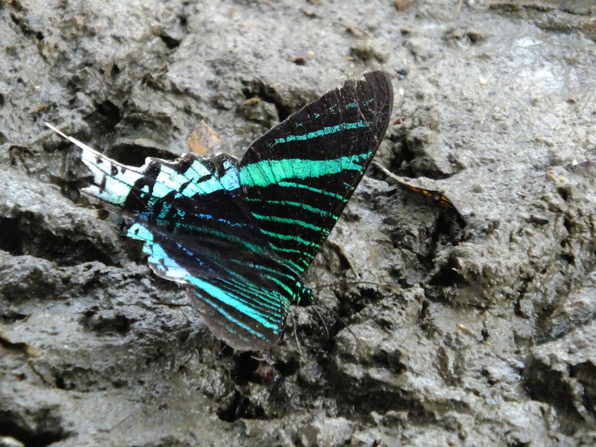 Green Urania moth