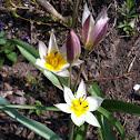 Zwergtulpe (Dwarf Tulip)