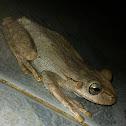 Hispaniola Tree Frog