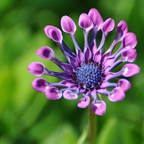 Purple Osteospermum by Viana Santoni-Oliver - Flowers Single Flower ( plant, osteospermum, blurry background, single, unique, purple, nature, petals, green, mum, flower )