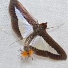Cucumber Moth-Female