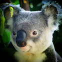 Koala Bear Wallpaper